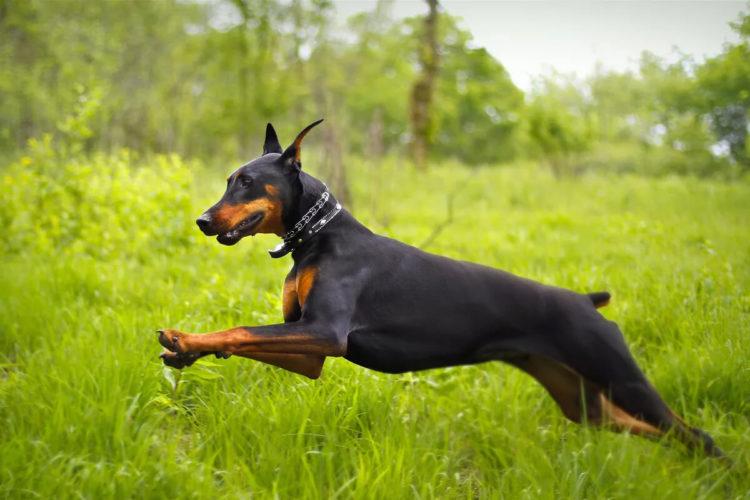 Доберман – рабочая собака