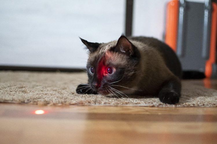 Почему кошки гоняются за лучом от лазерной указки?