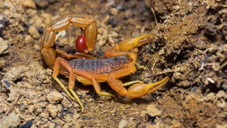 Индийский красный скорпион