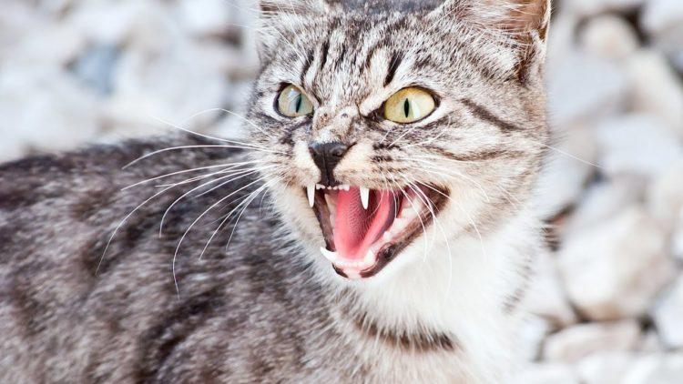 Почему кошка орет?