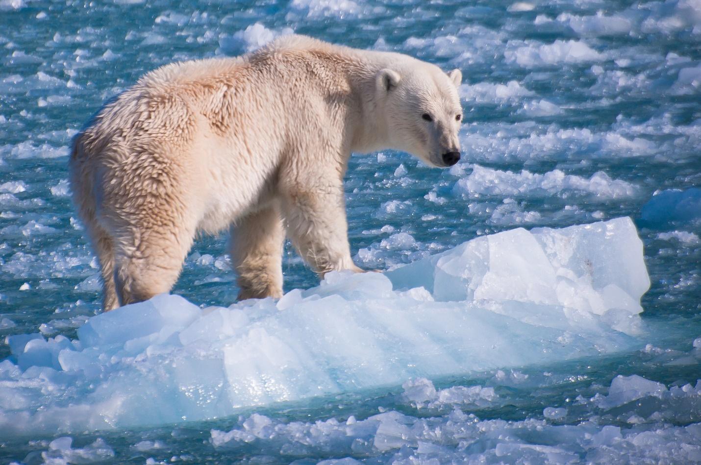 Ошкуй или полярный медведь