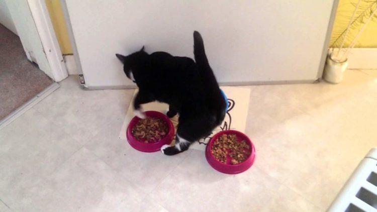 кошки закапывают еду