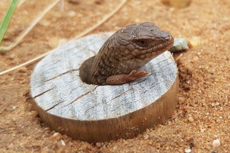 Карликовая ящерица блютанга