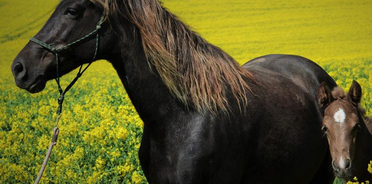 Лошадь Скалистых гор (Рокки-Маунтин)