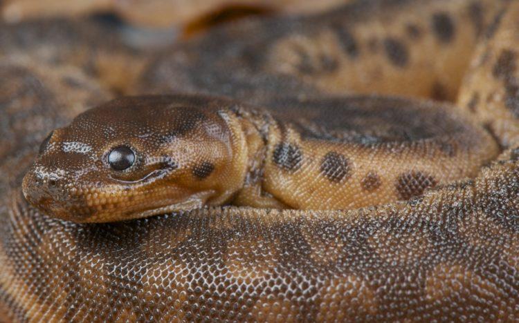 змея слоновий хобот