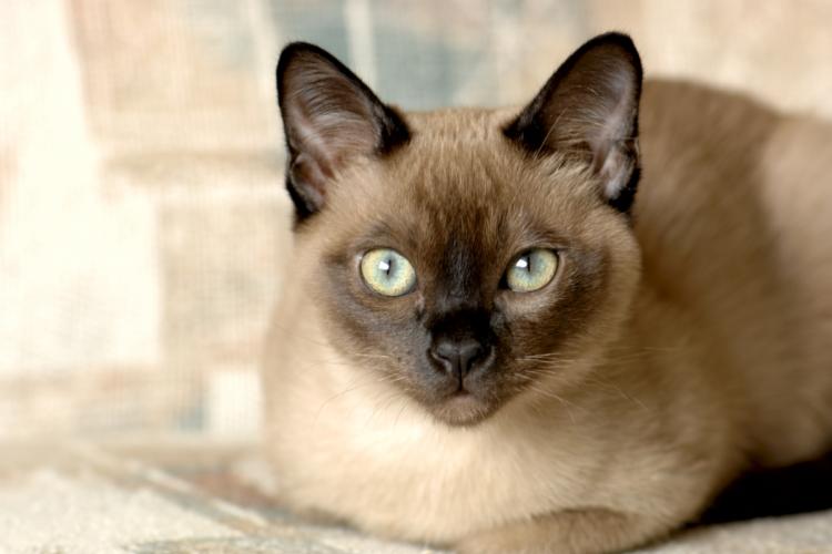 Тонкийская кошка
