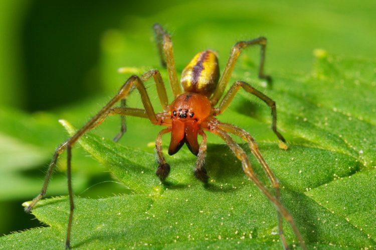 Желтосумный колющий паук