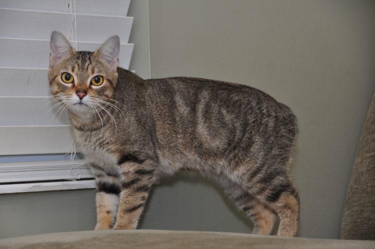 Менкс (мэнкская кошка)