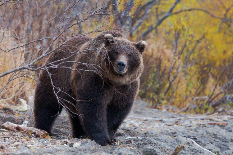 Сибирский медведь