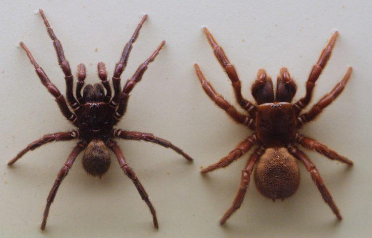 Древесный воронкообразный паук