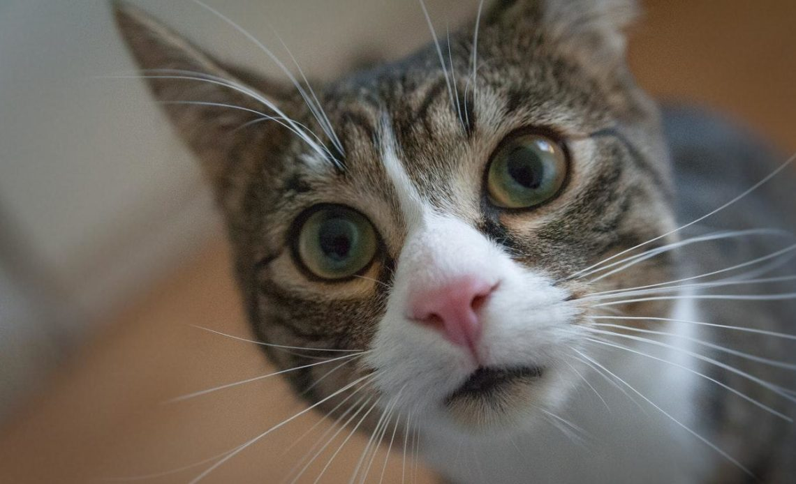 Почему кошки икают?