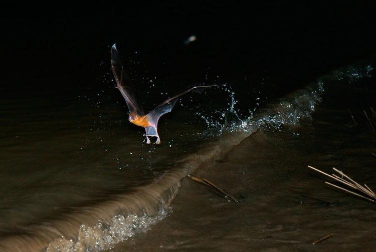 Большая летучая мышь-бульдог