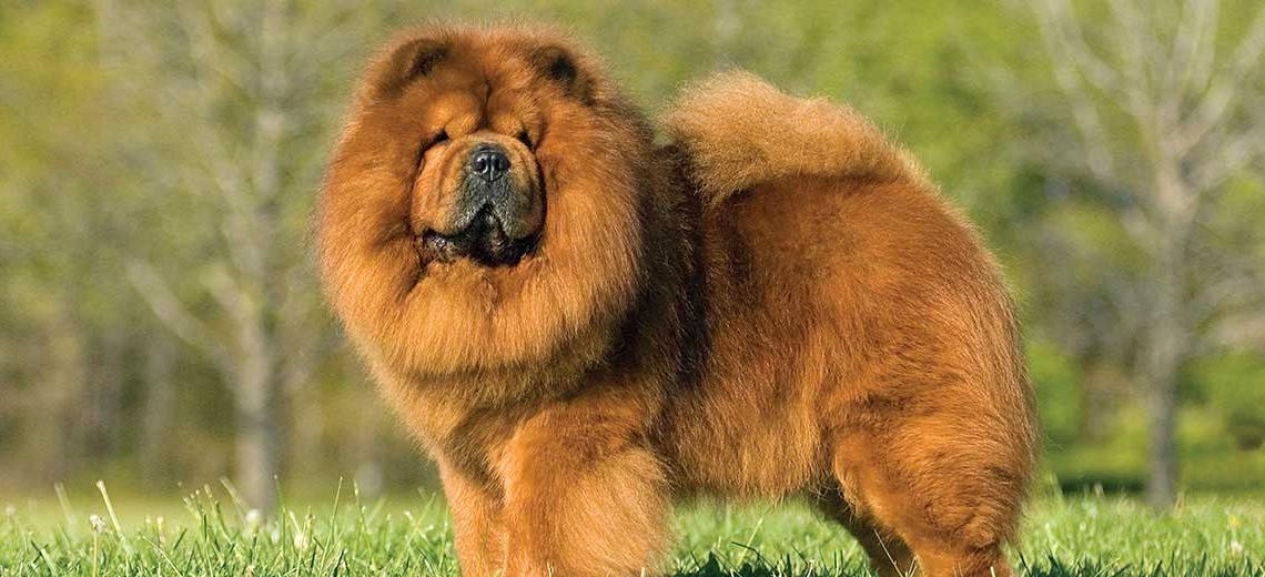 Самые пушистые породы собак в мире