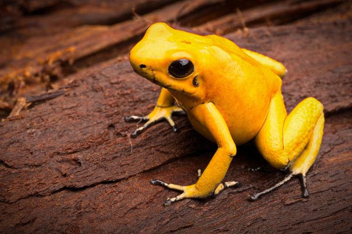 Золотая лягушка-дротик