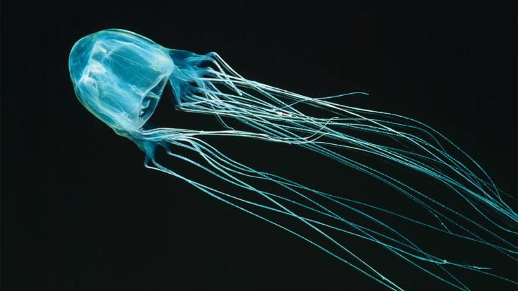Коробчатая медуза