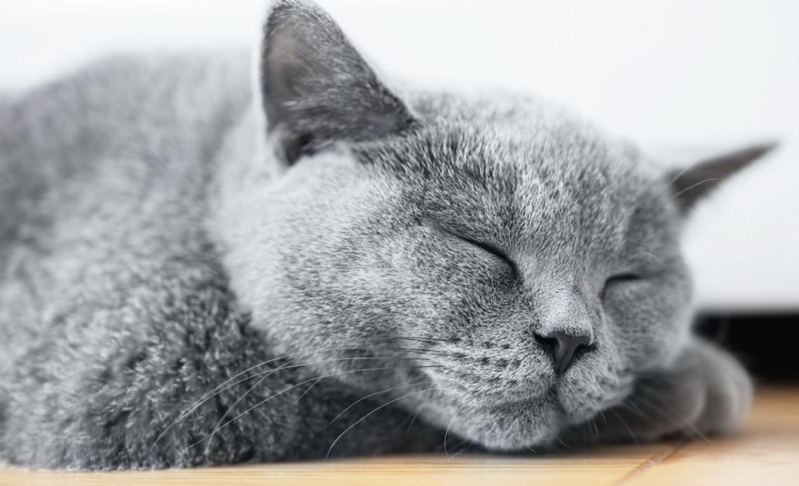 Самые ленивые породы кошек