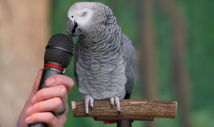 Говорящий папугай
