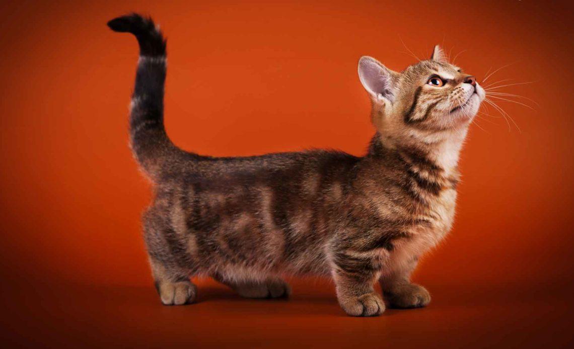 Кошки с короткими лапками (породы)