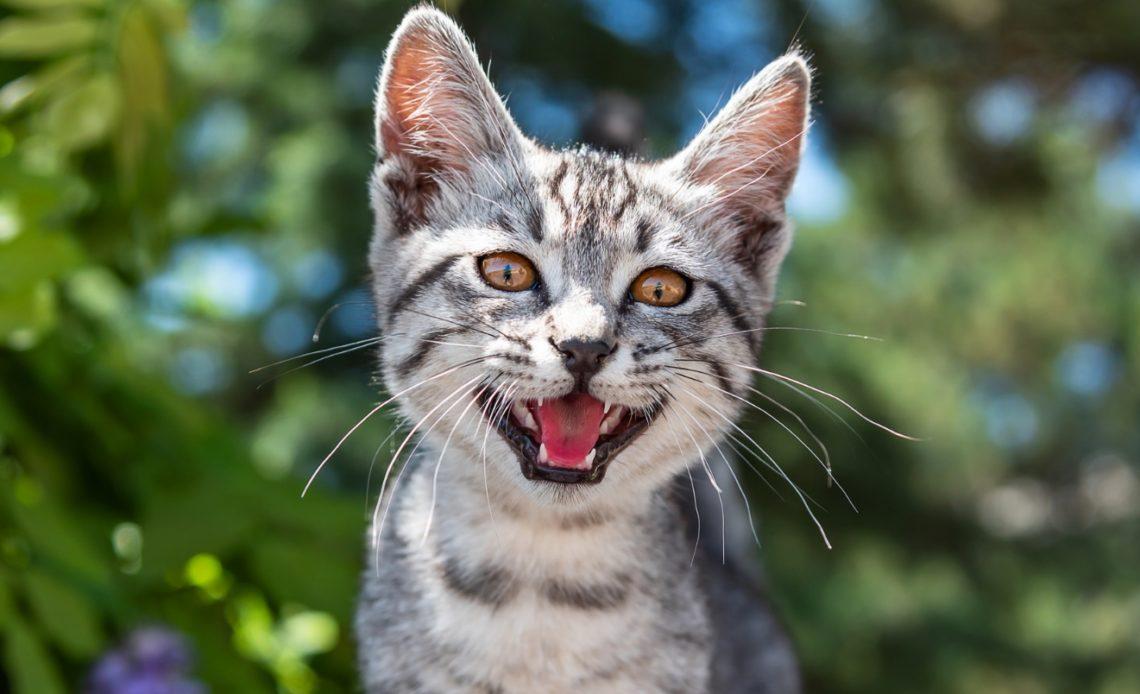 Почему кошка мяукает?
