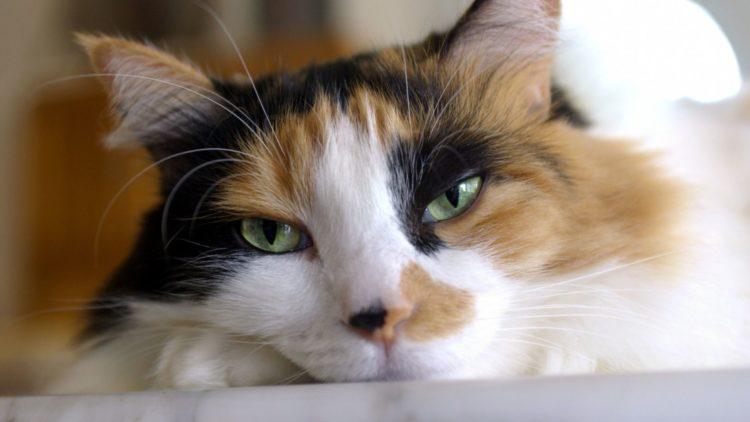 Почему трехцветными бывают только кошки?
