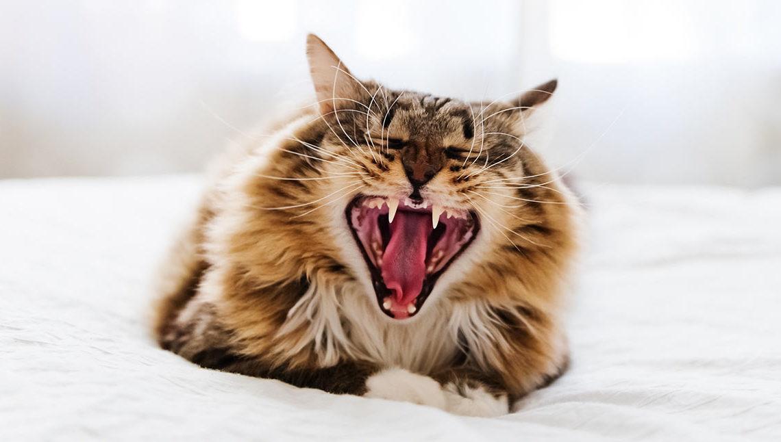 Почему кошка скрипит зубами?