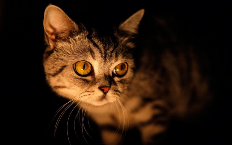 Почему кошка кричит по ночам?