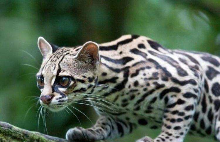 Малая пятнистая кошка