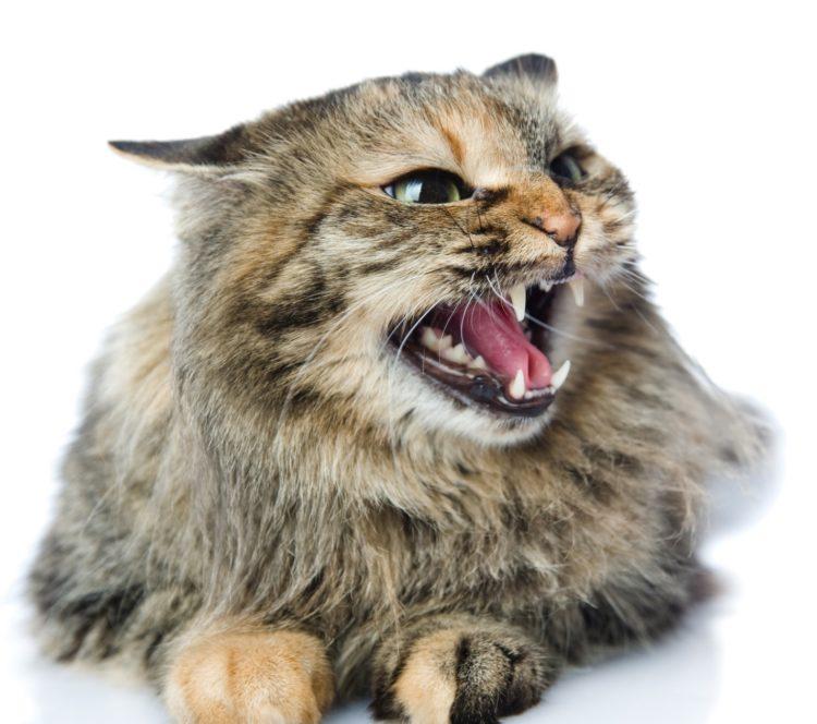 Почему кошка шипит на человека?
