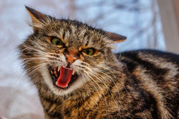 7 причин, почему кошки шипят