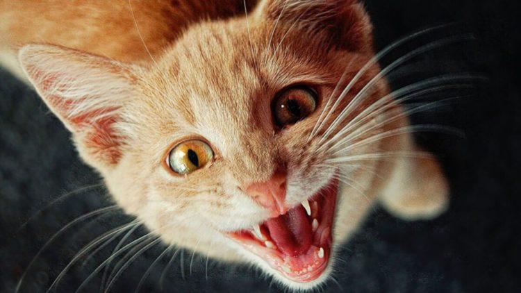 Почему стерилизованная кошка орет?