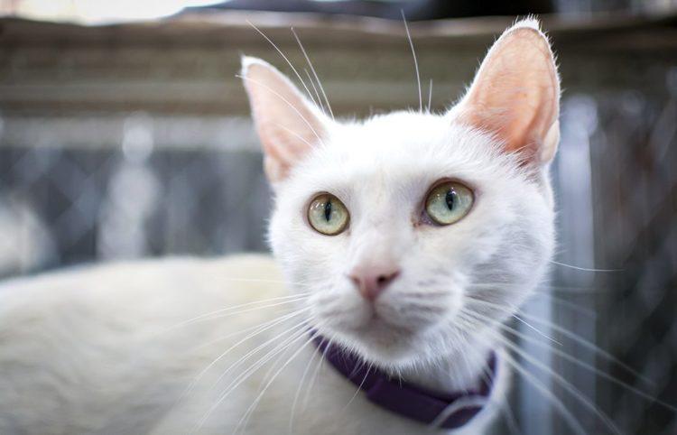 Кошки слышат лучше, чем люди