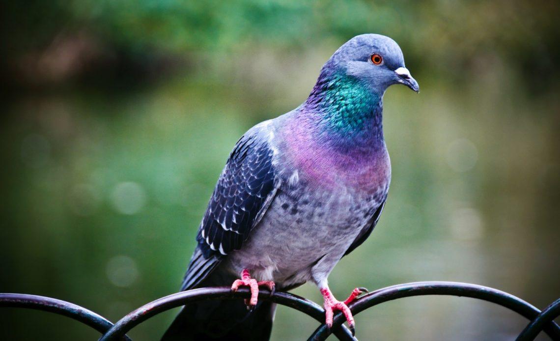 Виды голубей и места их обитания