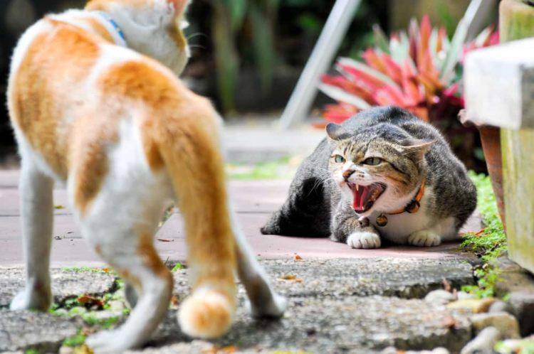 У некоторых котов агрессивное поведение настолько глубоко заложено природой