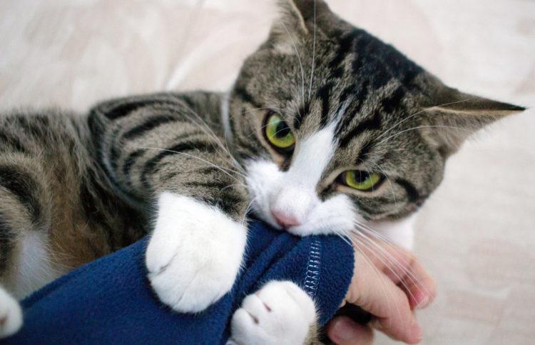 Почему кошка сосет одеяло?