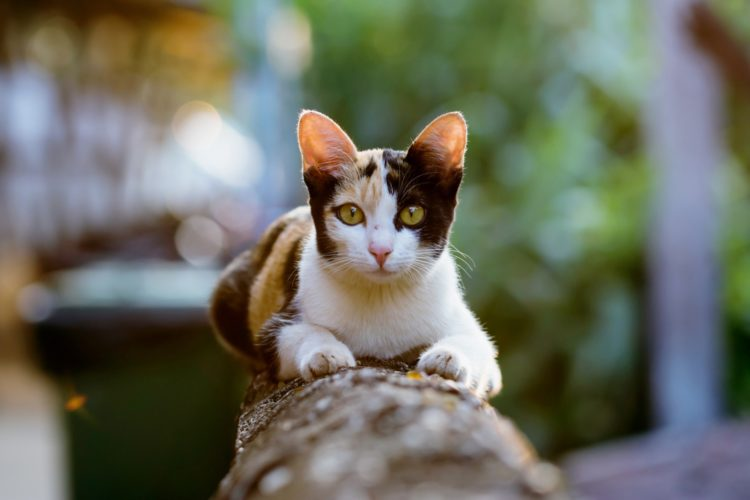 Почему кошки уходят из дома?
