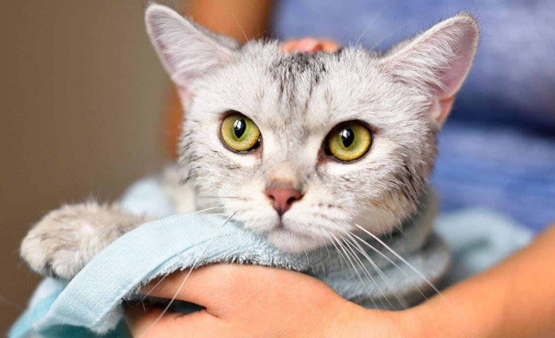 Почему нельзя часто мыть кошек?