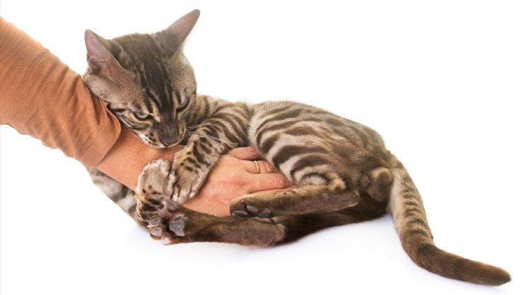 Почему кошка кусается?