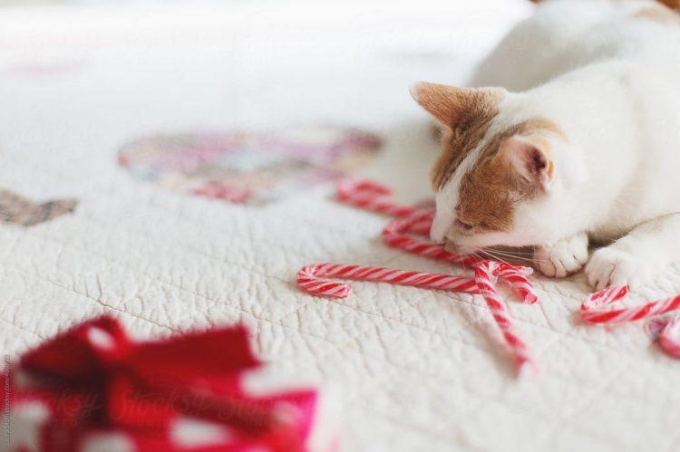 Можно ли кошкам сладкое: что следует знать о домашних питомцах и сладких лакомствах
