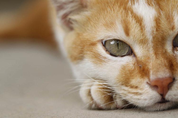 Почему у кошки сухой нос?