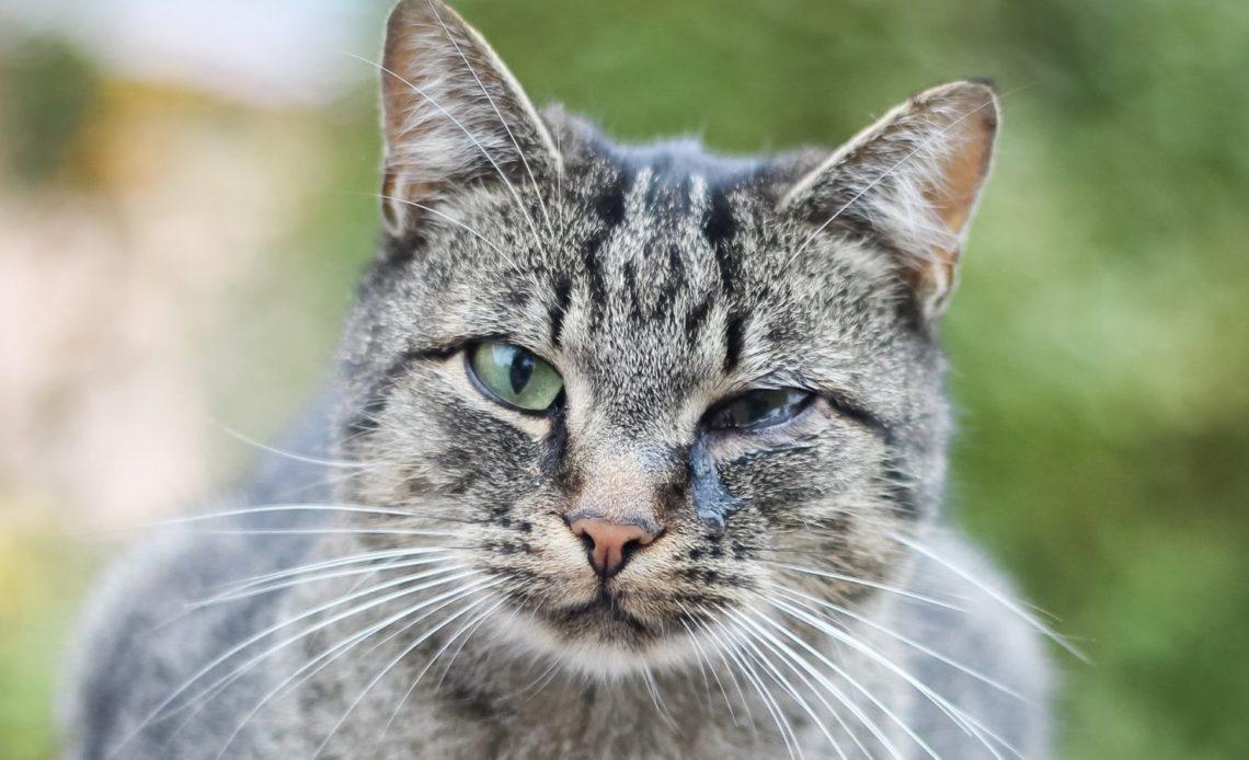 Почему у кошки гноятся глаза?