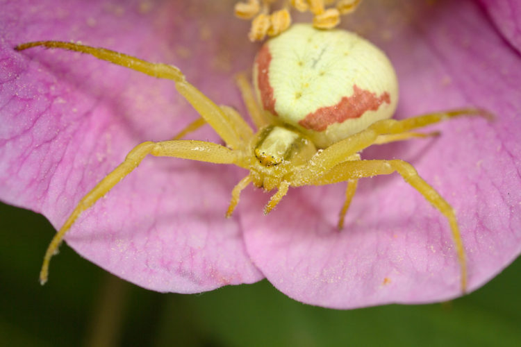 Цветочный крабовый паук