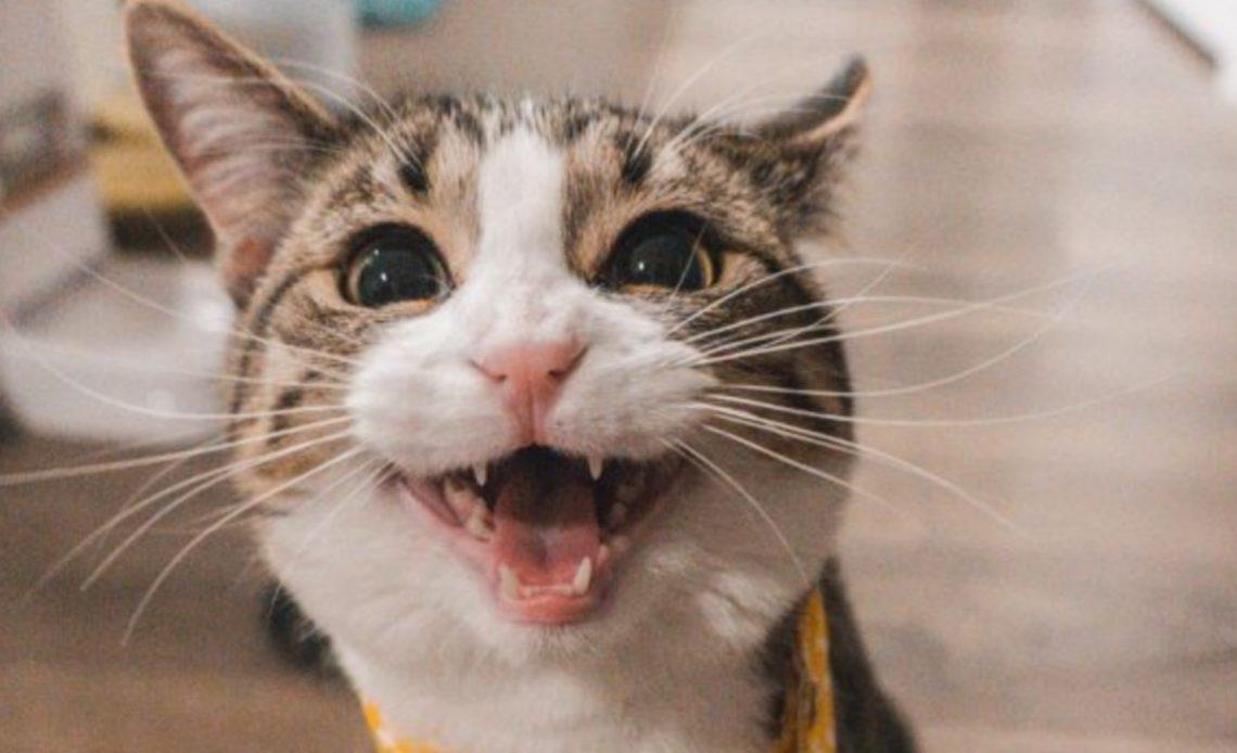 Почему у кошек выпадают зубы?