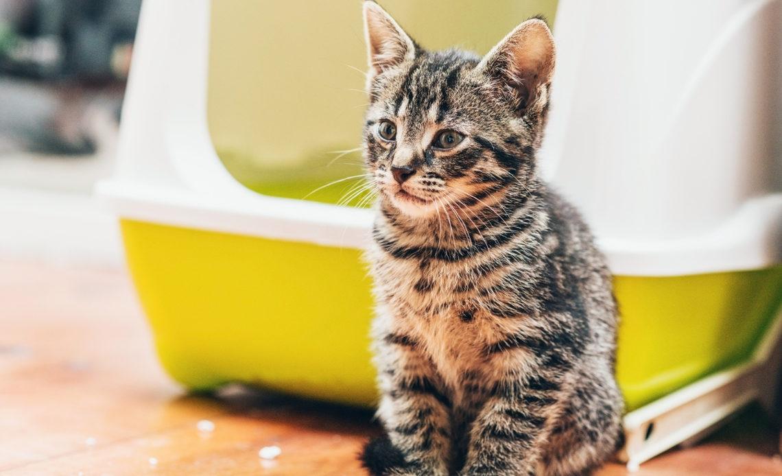 Почему у кошки понос?