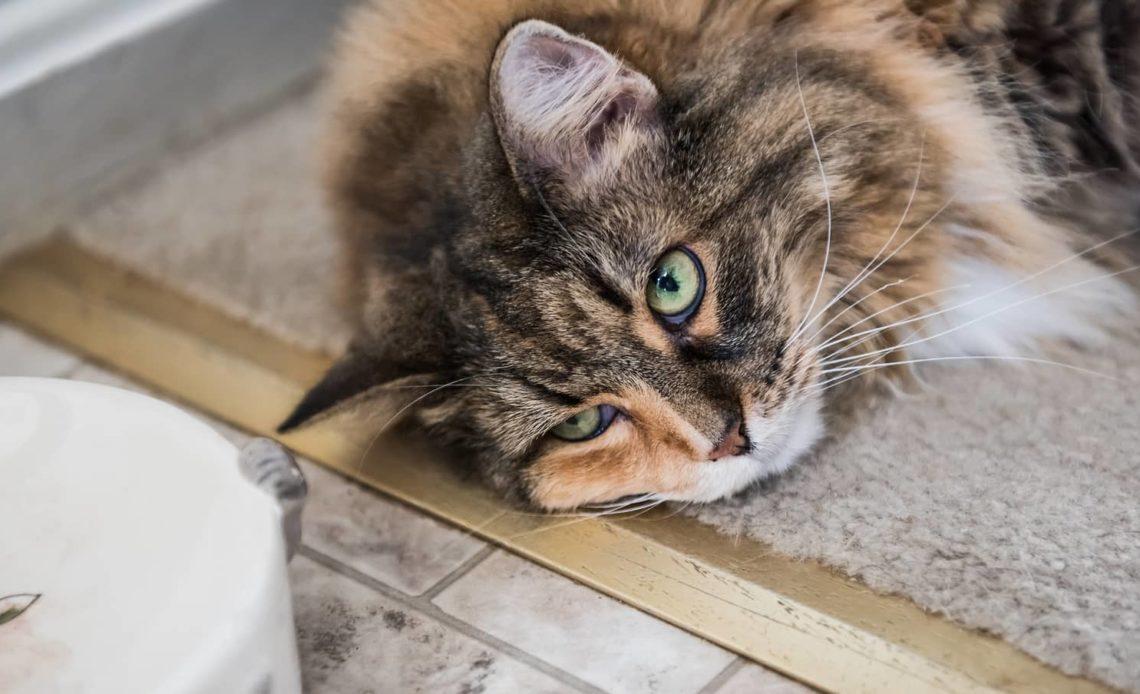 Почему у кошки пропал аппетит?