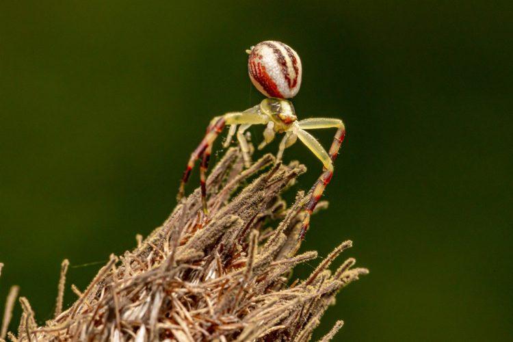Цветочные пауки