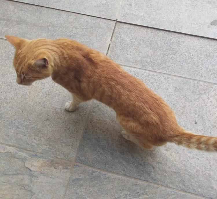 Чтобы оценить, в каком состоянии пребывает тело кошки, взгляните на него сверху