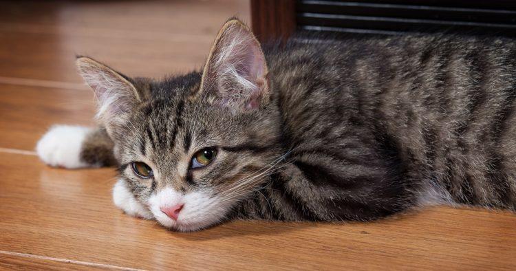Кошки – терпеливые животные, и они умело скрывают свое недомогание