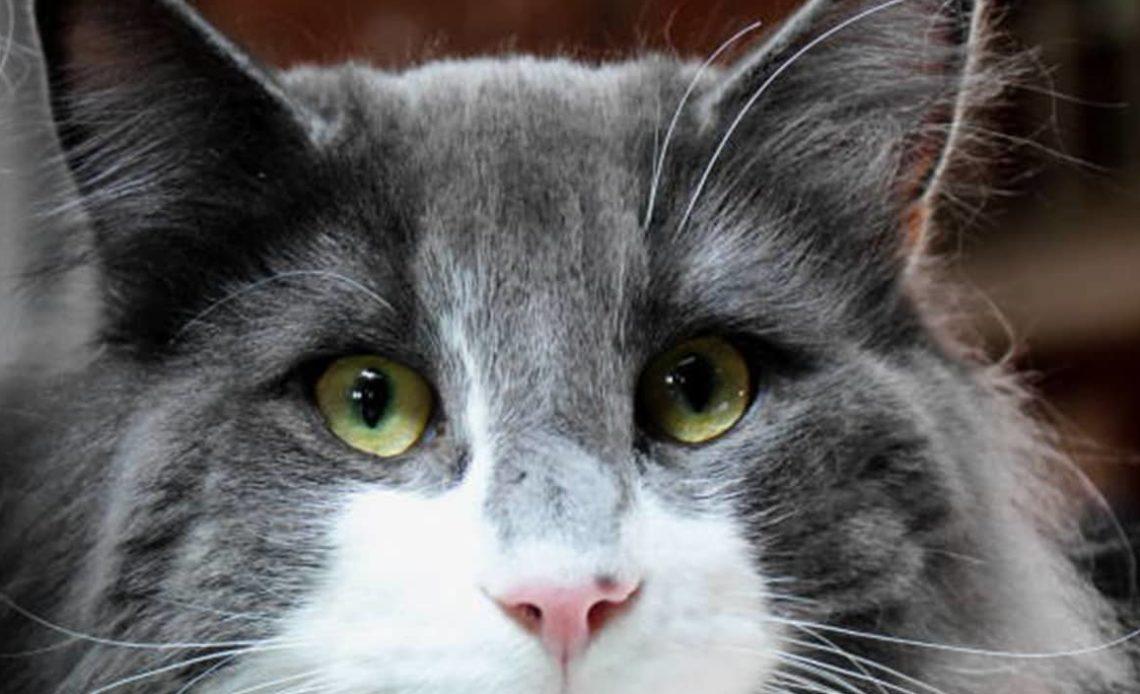 Почему у кошки красные глаза?