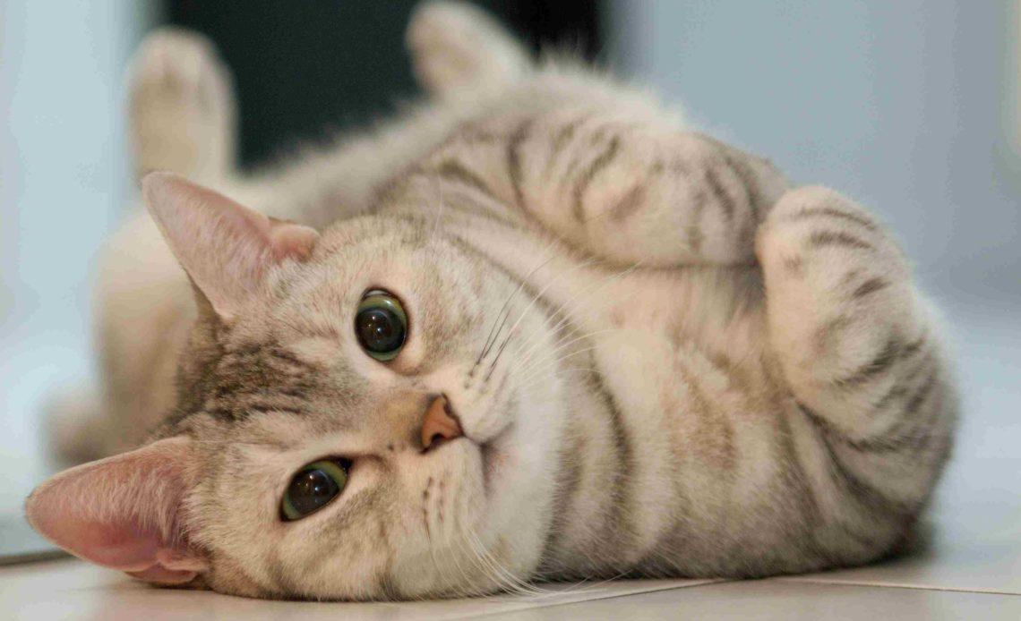 Почему кошка катается по полу?