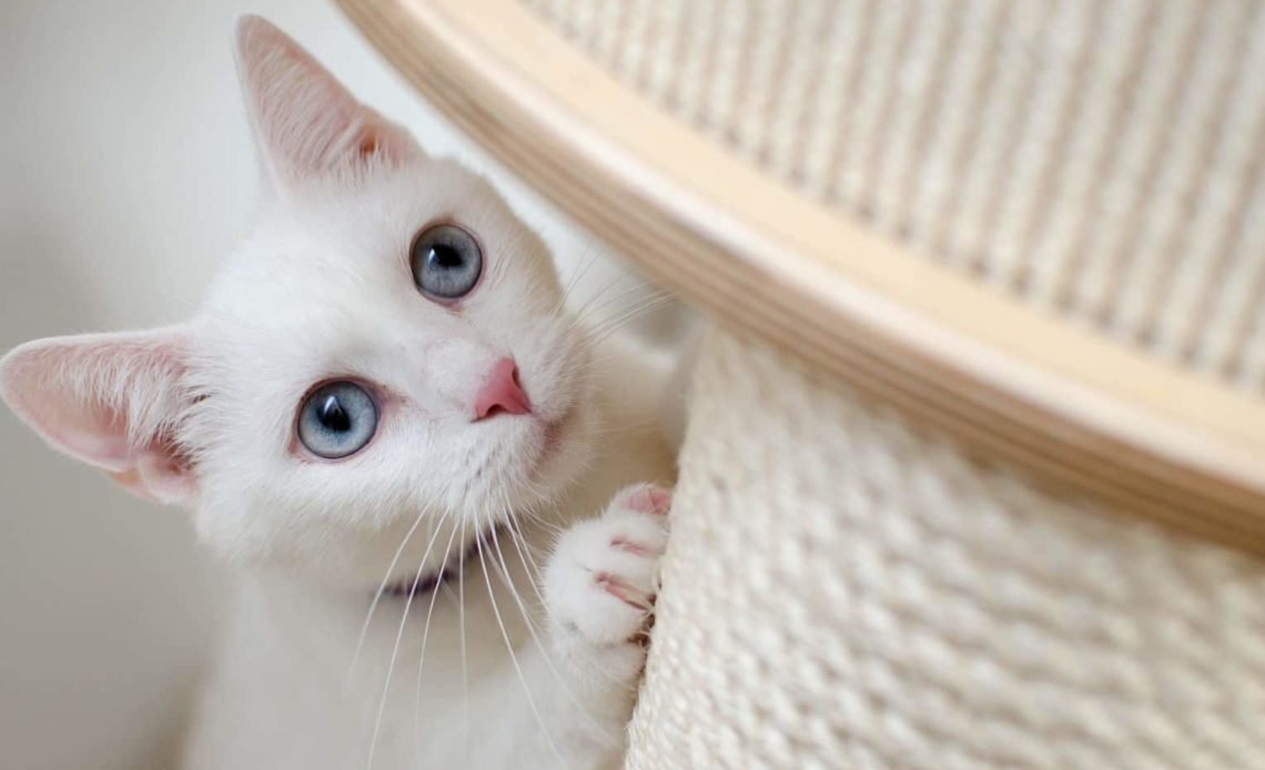 Как приучить взрослую кошку к когтеточке?